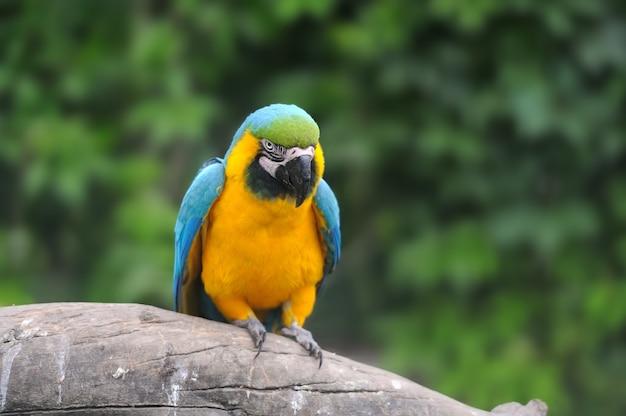 Uccello del pappagallo (ara grave) seduto sul ramo