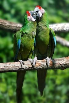 Uccello del pappagallo che si siede sul ramo