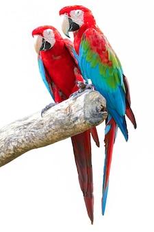 Ara pappagallo isolato su sfondo bianco.