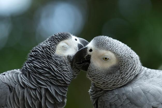 Pappagalli innamorati