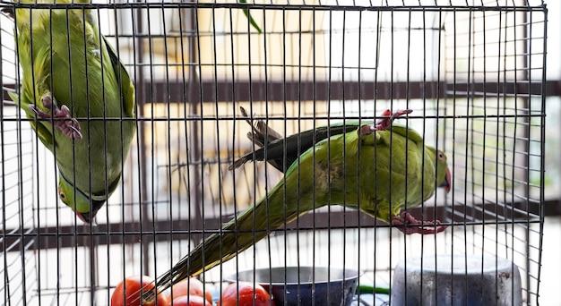 Pappagalli in trappola due pappagalli con il loro cibo
