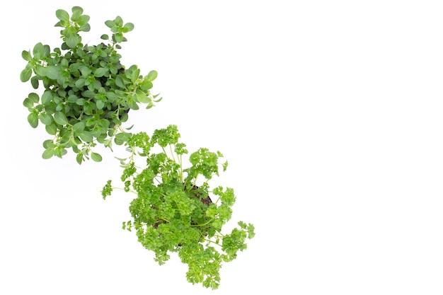 Erba di prezzemolo, basilico, salvija, foglie, timo, spezie alla menta su sfondo bianco.