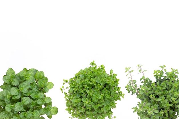 Erba di prezzemolo, basilico, salvija, foglie, timo, spezie menta su sfondo bianco.