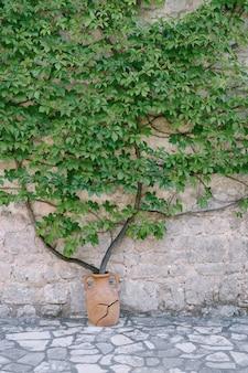 Parthenocissus quinquefolia cresce da un vaso di argilla un edificio in pietra in montenegro vecchia anfora incrinata