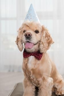 Party fashion pet cocker spaniel che indossa berretto e papillon rosso con dotes, siediti sul pouf ottomano nella stanza luminosa, in posa con orgoglioso muso e lingua fuori, cane di compleanno