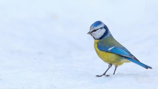 Parus caeruleus uccello nella neve