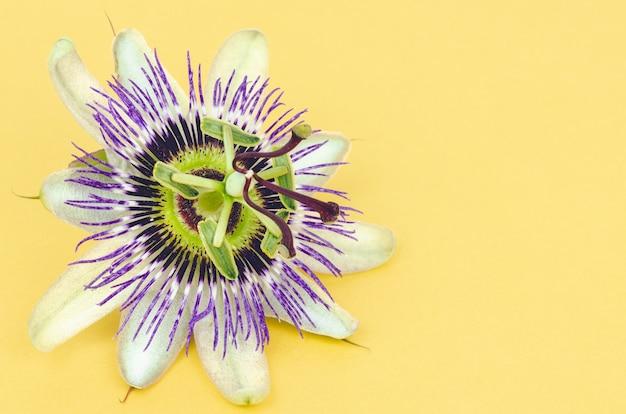 Fiore del frutto della passione su sfondo giallo. copia spazio. vista dall'alto.