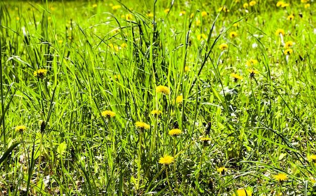 Pascolo con erba e con bellissimi denti di leone gialli vivi nella stagione primaverile, natura in campagna