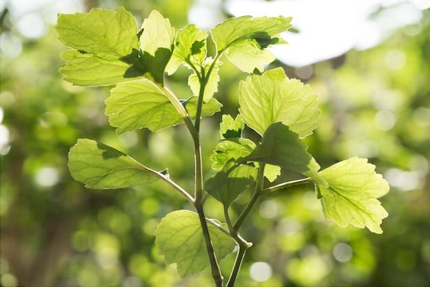Patchouli o ยogostemon cablin foglia verde sulla superficie della natura.