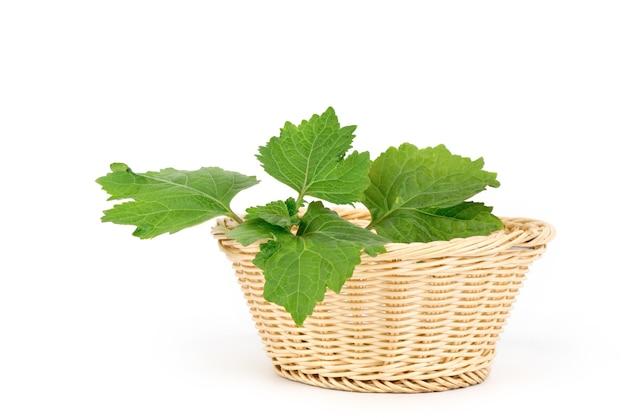 Patchouli o pogostemon cablin benth, foglie verdi isolati su sfondo bianco.