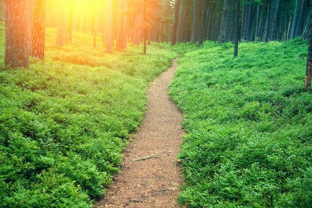 Sentiero tra cespugli di mirtilli in pineta