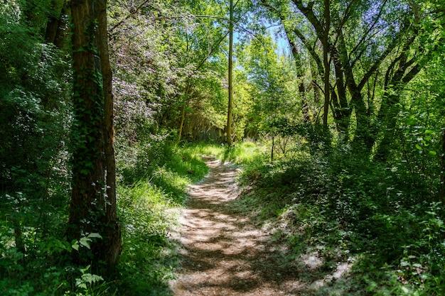 Sentiero nel bosco tra alberi e piante verdi, luce del sole che filtra dai rami. duraton, sepulveda, segovia.