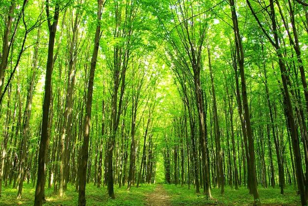 Un sentiero è nella foresta verde