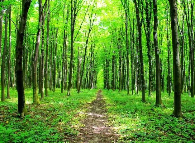 Un sentiero è nel verde della foresta
