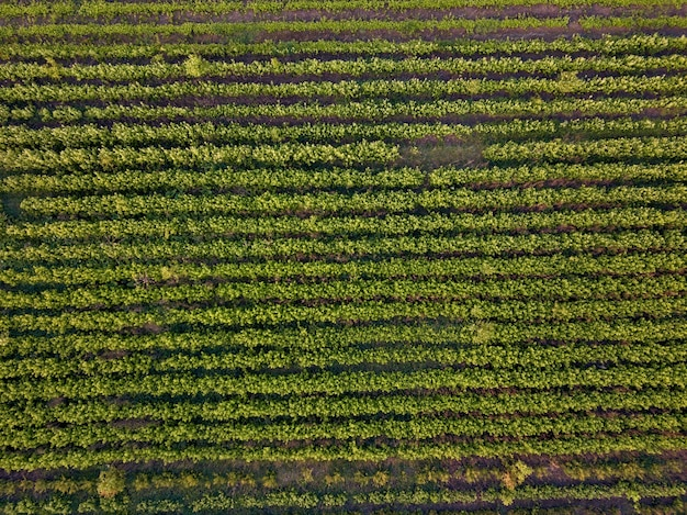 Il modello delle strisce di terreno con giovani piantine germogliate in primavera viene ripreso dall'alto dai fuchi