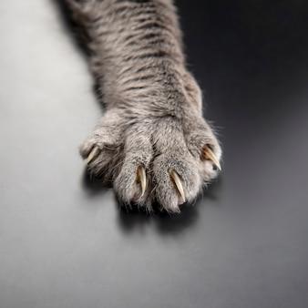 Zampa di gatto grigio da vicino. animali domestici e mammiferi