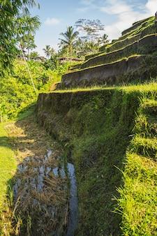Paesaggio pacifico di natura esotica sull'isola e agricoltura biologica, coltivazione del riso su campi tropicali