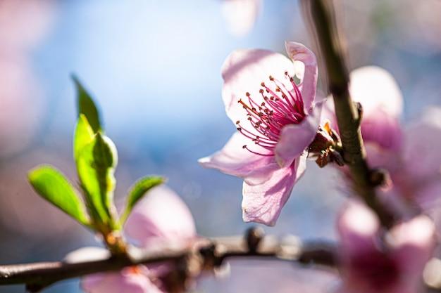 Fiore di pesco in primavera, immagine scattata con obiettivo macro