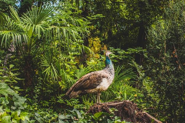 Pavone di profilo tra la vegetazione