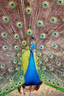 Pavone che mostra le sue bellissime piume. animali selvaggi.