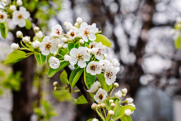 Ramo di pera con fiori bianchi, foglie e boccioli in fiore sotto i raggi del caldo sole primaverile