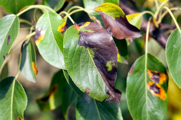 Fogliame di pera in autunno fotografato nel fogliame autunnale di un albero di pera