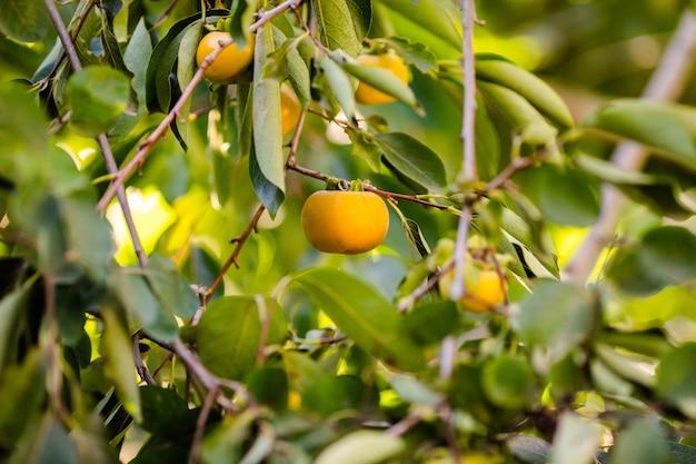 Frutta della pera sull'albero nel giardino di frutta