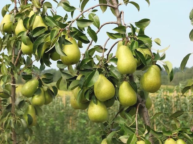 Pere mature del frutteto di pere in giardino pronte per il raccolto