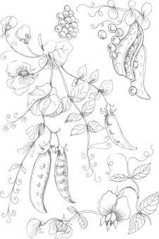 Piselli illustrazione grafica disegnata a mano