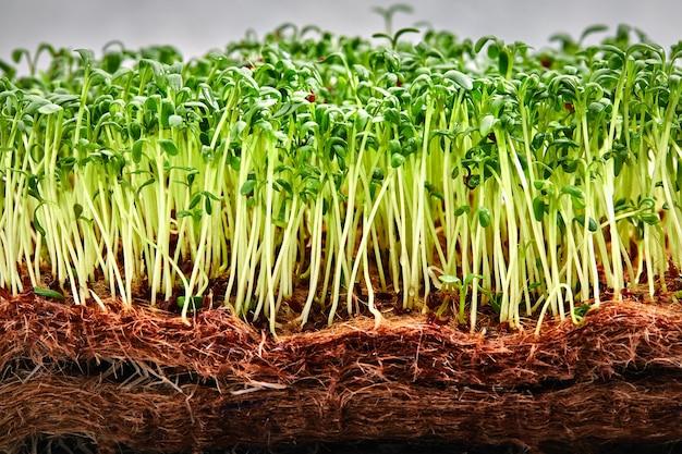 Microgreens di piselli con semi e radici