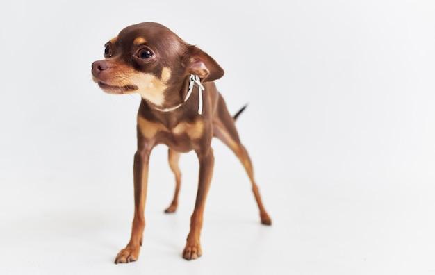 Cane di razza amico del primo piano umano isolato sfondo