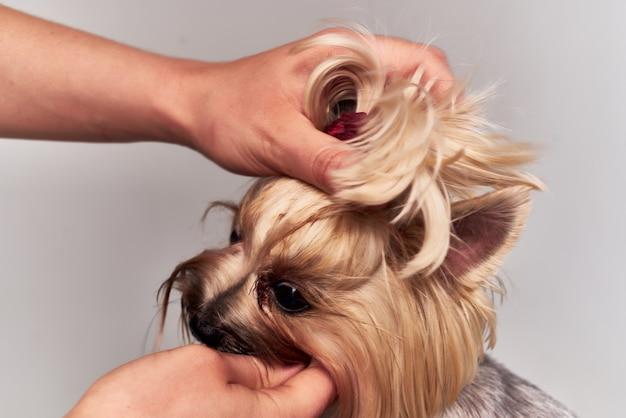 Acconciatura cane di razza per animali isolati sfondo. foto di alta qualità