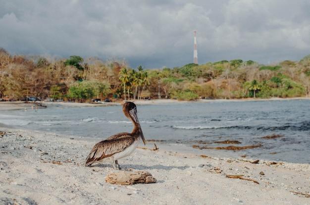 Pelican su una spiaggia in costa rica