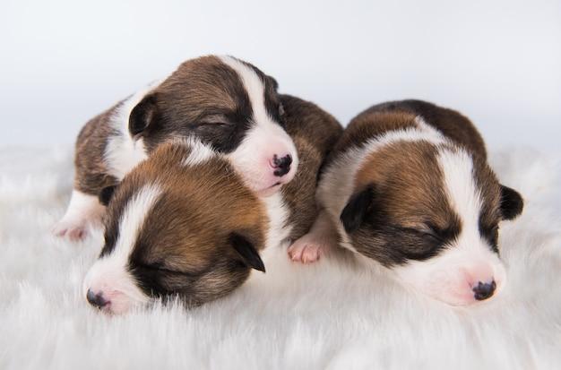 Cuccioli di pembroke di pembroke welsh corgi su bianco