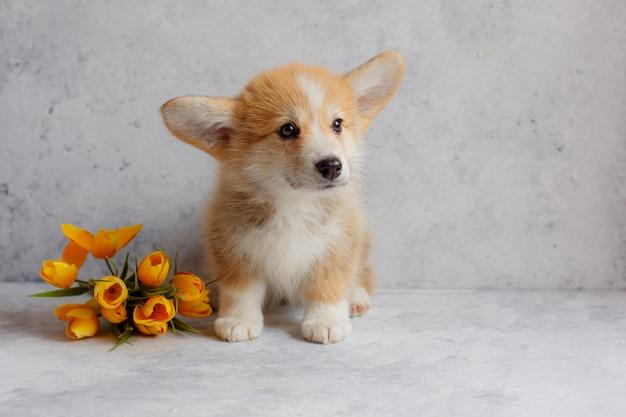 Un cucciolo di pembroke welsh corgi siede accanto ai fiori