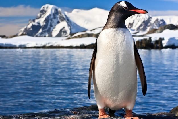 Pinguino in antartide