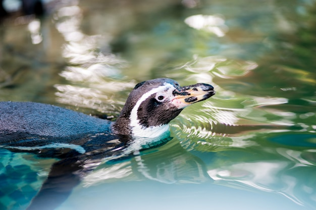 Il pinguino sta nuotando nello zoo
