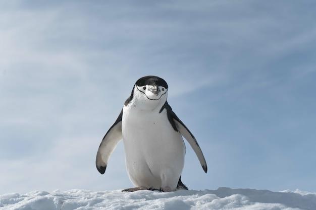Pinguino che cammina sulla spiaggia ghiacciata