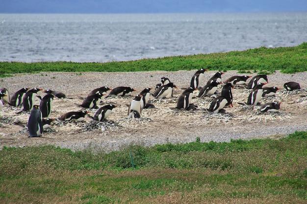 I pinguini sull'isola nel canale di beagle chiudono la città di ushuaia in argentina