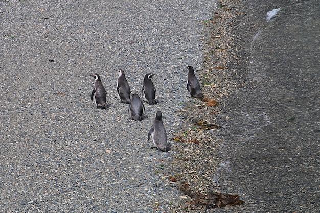 Pinguini sull'isola nel canale di beagle vicino alla città di ushuaia nella terra del fuoco, in argentina