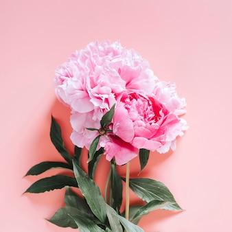 Bouquet di fiori di peonie in piena fioritura colore rosa vibrante isolato su sfondo rosa pallido. vista piana, vista dall'alto, spazio per il testo. piazza