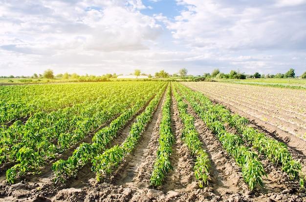 Le piantagioni di peperoni crescono nella fattoria in una giornata di sole. coltivazione di ortaggi biologici. agricoltura