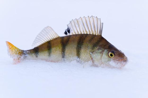 Pesce persico sulla neve in inverno sul ghiaccio. pesca invernale,