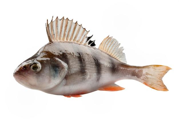 Pesce persico isolato su sfondo bianco