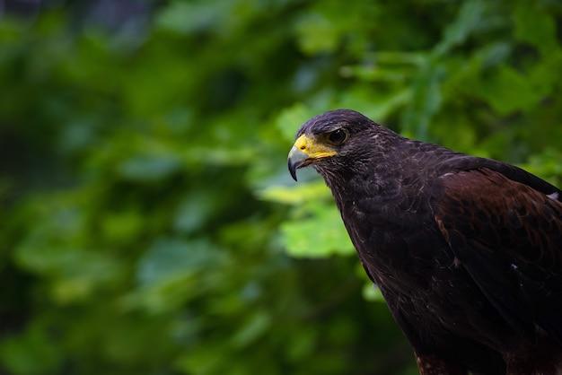 Falco pellegrino marrone guardando la preda, ravvicinata di un falco saker all'aperto