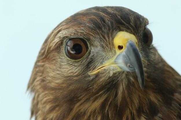 Peregrine - (falco peregrinus)