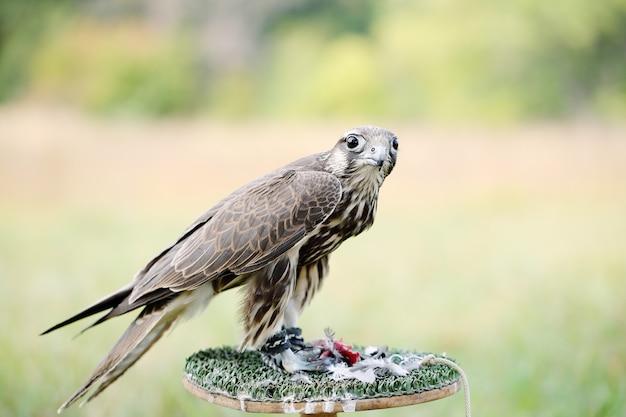 Falco pellegrino che mangia un piccione. giovane bel falco in natura