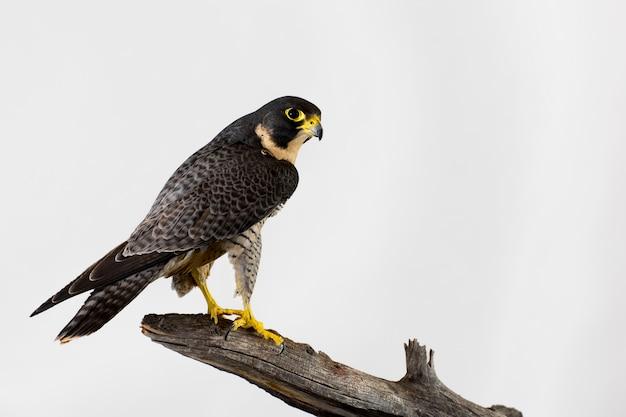 Peregrine falcon isolated su una parete bianca