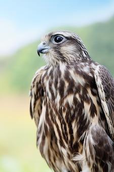 Falco pellegrino. giovane bel falco in natura