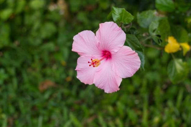 Fiore di ibisco rosa perfetto in ambiente naturale.